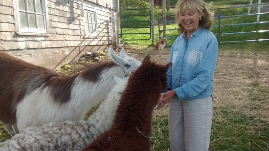 Antigonish, Canadá: My friends, the alpacas. They love their food!
