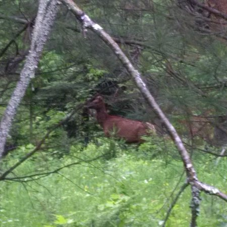 Bancroft, Canadá: Wild elk