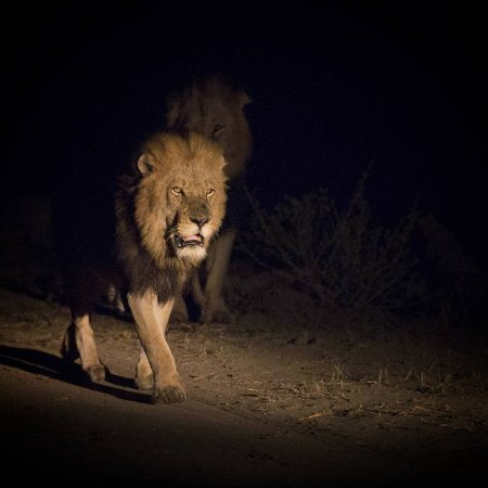 Almere, The Netherlands: Lion spotted on a sunset game drive in Kruger Park