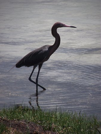 Holiday, FL: Little Blue Heron