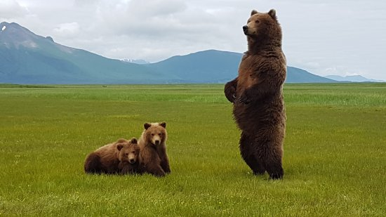 Kodiak, AK: Sow standing to see locating of another bear