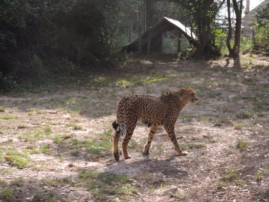 Port Elizabeth, Sudáfrica: cheetah very happy and contented always purring