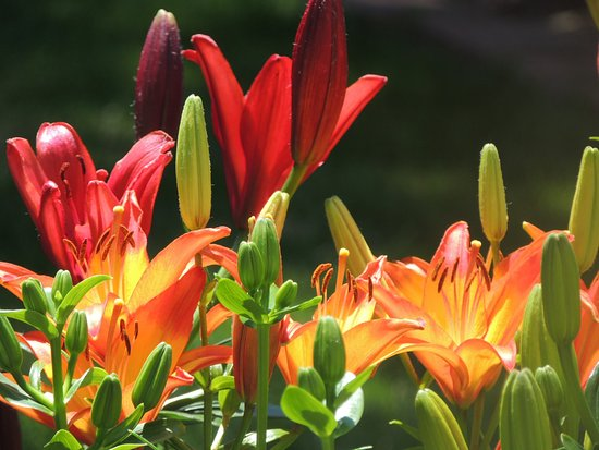 Christiansburg, Βιρτζίνια: Oriental Lilies in our gardens
