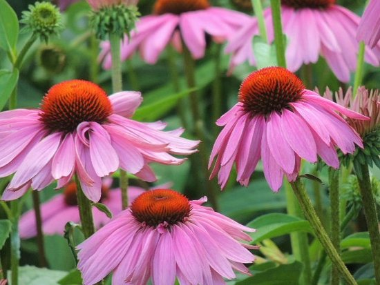 Christiansburg, VA: Cone flowers in the front garden