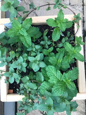 Perth, Kanada: Growing our own herbs on the patio!