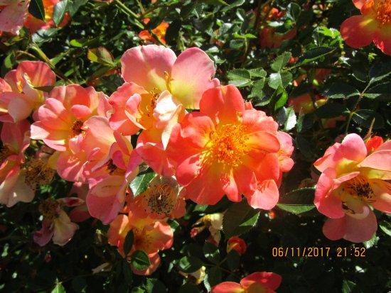 Summerland, Καναδάς: Colourful Rose Flowers.