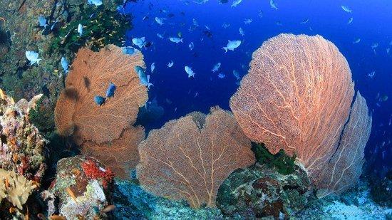 Pulau Weh, Indonesia: Sea fan