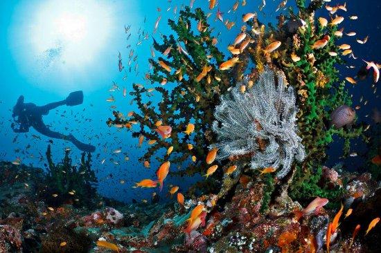 Pulau Weh, Indonesia: Anthias fish