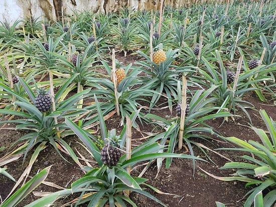 Arruda Pineapple Plantation Interior Das Estufas Com Vidro Pintado De Branco