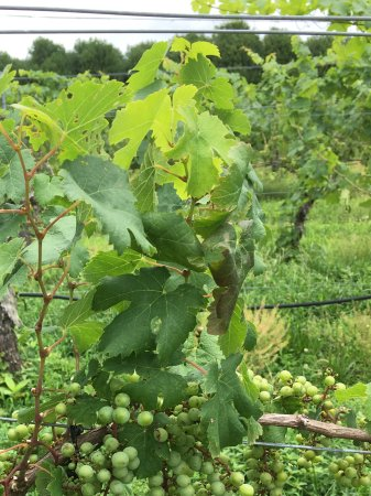 Columbus, Carolina do Norte: Grapes waiting for the fall harvest.