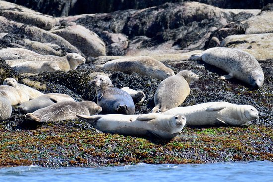 Bass Harbor, เมน: Harbor Seals