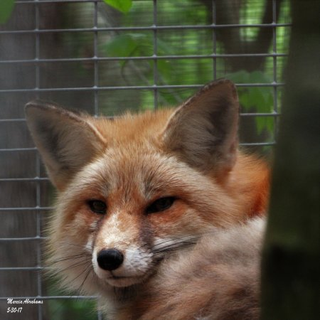 Red fox - Quogue Wildlife Refuge (Rehabilitation Area) 5-30-17