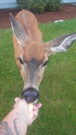 Ocean Shores, WA: Local doe comes out for feeding, will come right up to you, very cool!