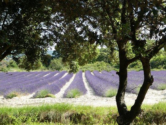 Cote Patio: Lavendelvelden in de omgeving