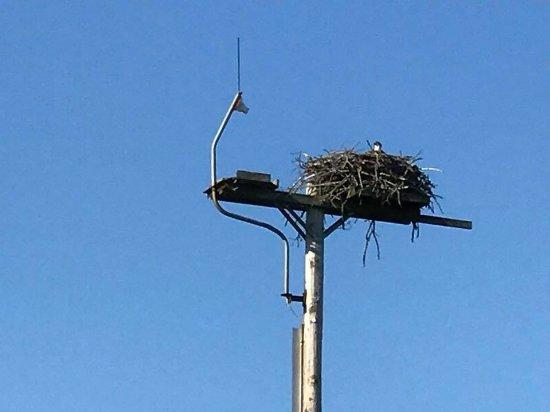 Woolwich, ME: Osprey Nest