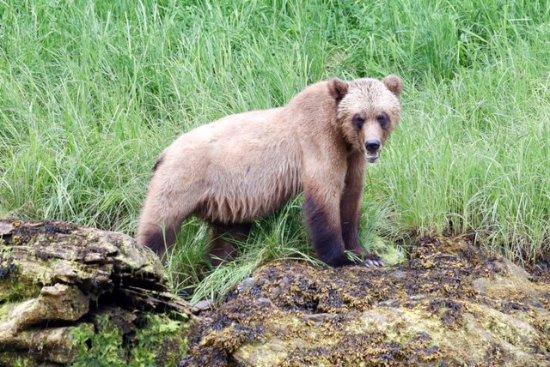 Khutzeymateen Grizzly Bear Sanctuary: Grizzly bear in the Khutzeymateen sanctuary