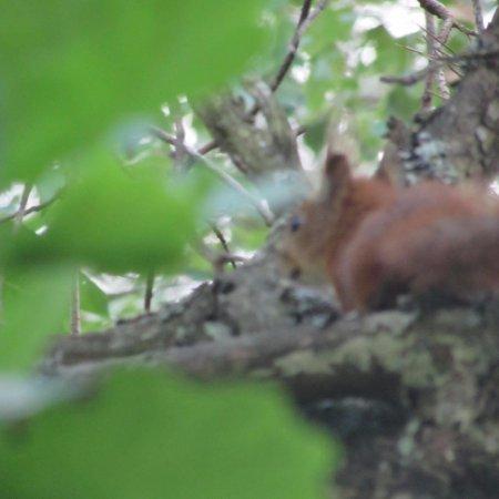 Druskininkai, Lituânia: fauna nel parco (scoiattolo)