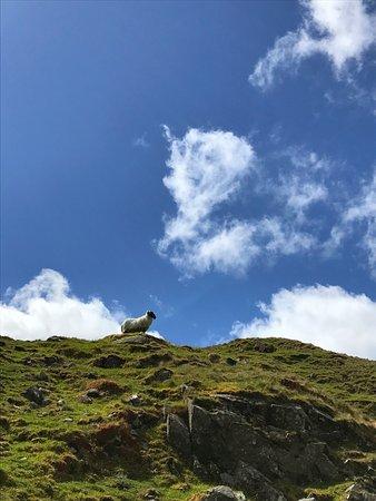 Leenane, Irlanda: Sheep
