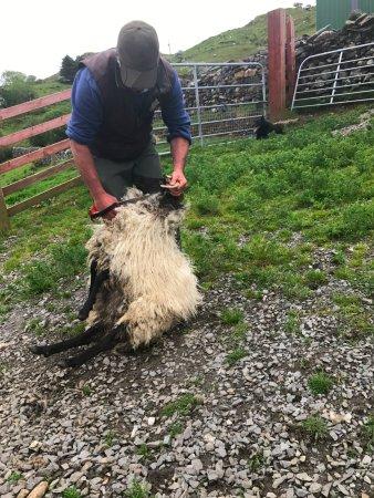 Leenane, Ireland: Shearing