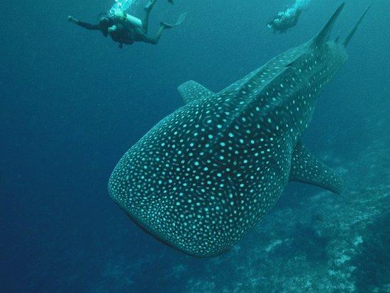 Mirihi Island Resort: Walhaibegegnung beim Tauchen