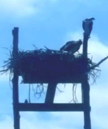 Georgetown, MD: Osprey parents