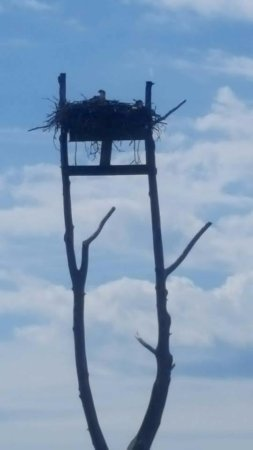 Georgetown, MD: Osprey baby waiting on food.