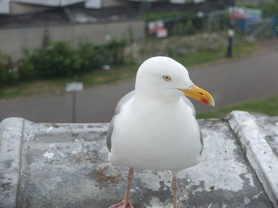 Bryn-Y-Mor Hotel: Brian seagull visits daily, but mustn't be fed!