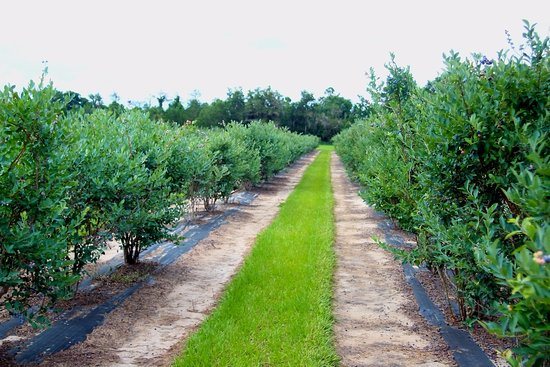 Live Oak, FL: Blue berry farm