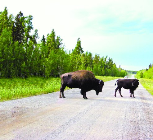Wood Bison spotted along the highway into Fort Smith, NT