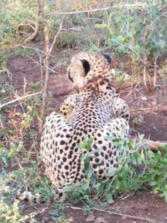 Hluhluwe, South Africa: Chettah with a kill