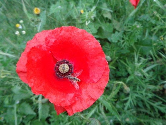 Lilleshall, UK: Poppy & Hoverfly