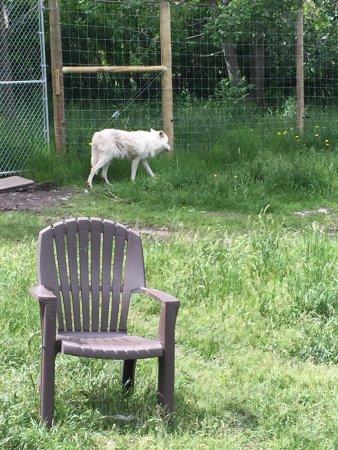 Yamnuska Wolfdog Sanctuary: photo2.jpg