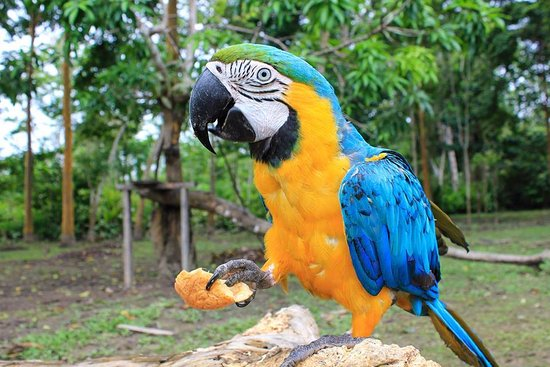 Papagayo Azul Picture Of Jacamar Lodge Expedition Santa Teresa