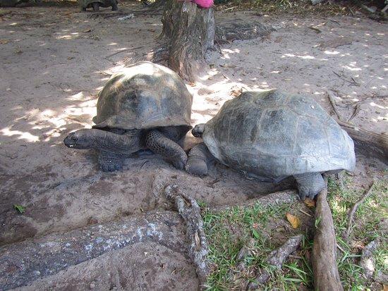 Praslin Adası, Seyşeller: tortues