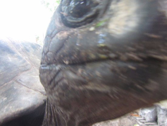 Praslin, Seychellerna: tortue