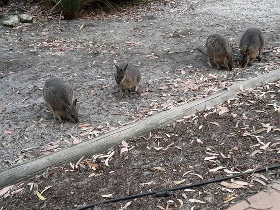 Flinders Chase, Australia: Wallabys