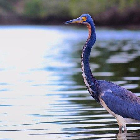 Puerto Jimenes, Costa Rica: Tricolored Heron