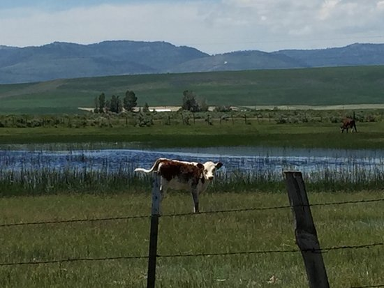 Montpelier, ID: Drive through farms to get here. Hello young cow!