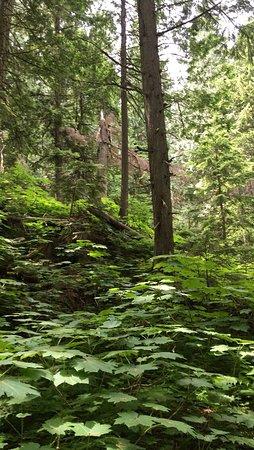 Giant Cedars Boardwalk Trail: photo0.jpg