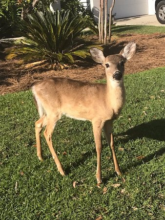 Fripp Island Resort: Precious deer families wander about the island.