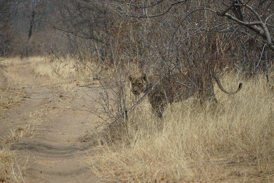 Kasane, Botsvana: Begegnung mit Löwen