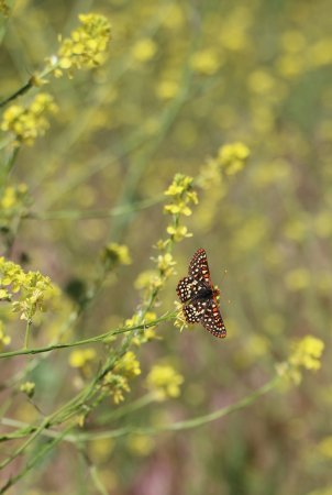 Hesperia, CA: Checkerspot butterfly on the wildflowers