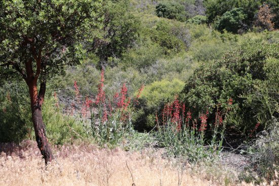 Silverwood Lake State Recreation Area: Penstemon (Scarlet Bugler)