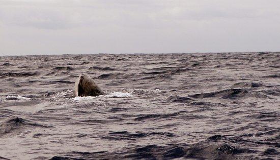 Azores Whale Watching Terra Azul: Juvenile sperm whale