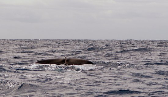 Azores Whale Watching Terra Azul: sperm whale tail
