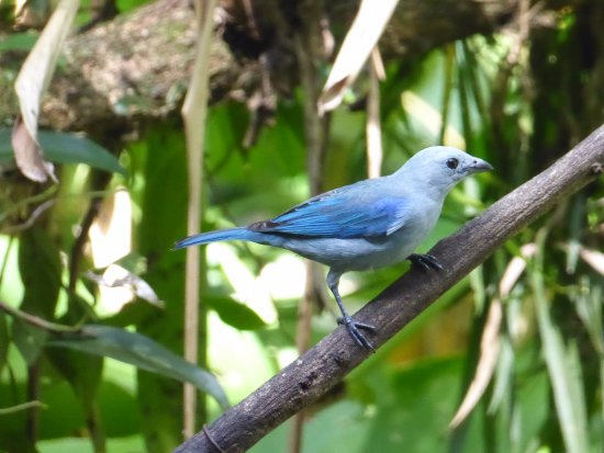 La Virgen, Costa Rica: Blue-gray tanager