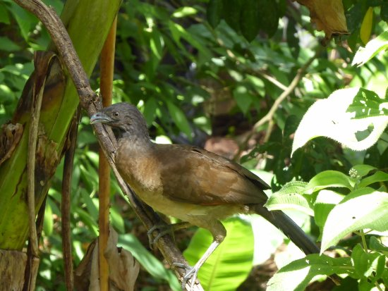 La Virgen, Costa Rica: Gray-headed chachalaca