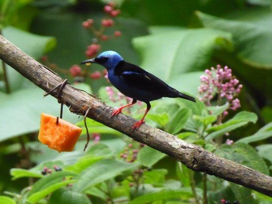 La Virgen, Costa Rica: Red-legged honeycreeper