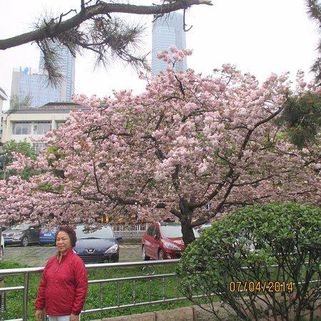 Guiyang, China: cherry blossom alone the lake