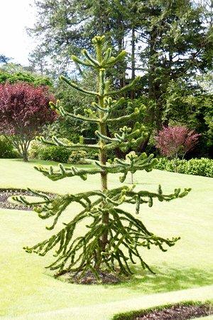 Kylemore, Irlandia: Unusual Tree